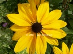 Black eyed Susan, Gardens at Chateau Chenonceau.