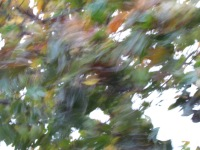 The leaves on the maple tree just won't lay still.