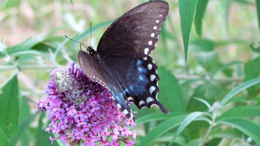 Black swallowtail butterfly, my back yard. (Did you think I was kidding about posting a butterfly pic?)