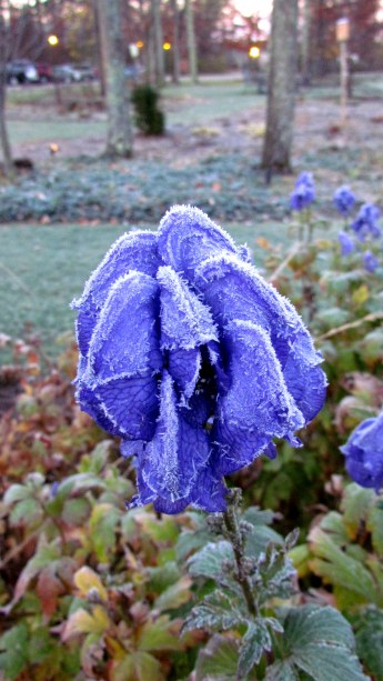 Bluebells in the morning frost.