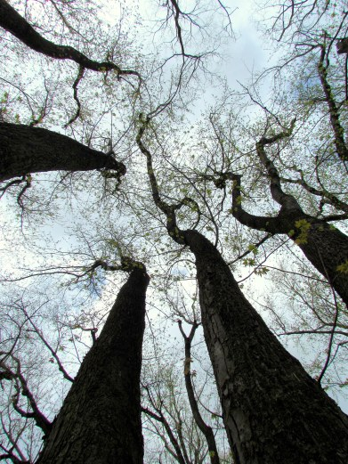 Here's looking up yer old...growth...wooded areas...