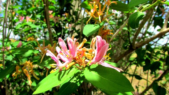 I'm not sure if I've ever encountered a pink honeysuckle before.