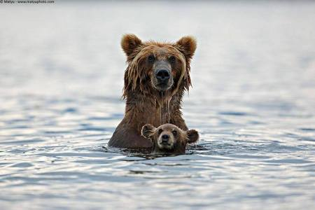 Bears. Cute, even when wet. Image from matyuphoto.com