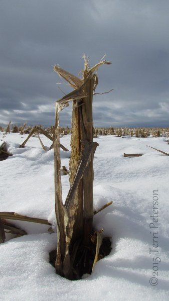 What happens to corn stalks in the winter.