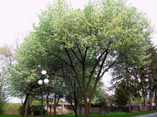 Gigantic tree, in full bloom.
