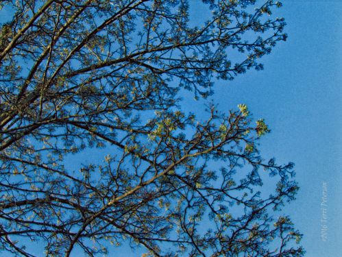 Ornamental pear tree will soon be ornamented.